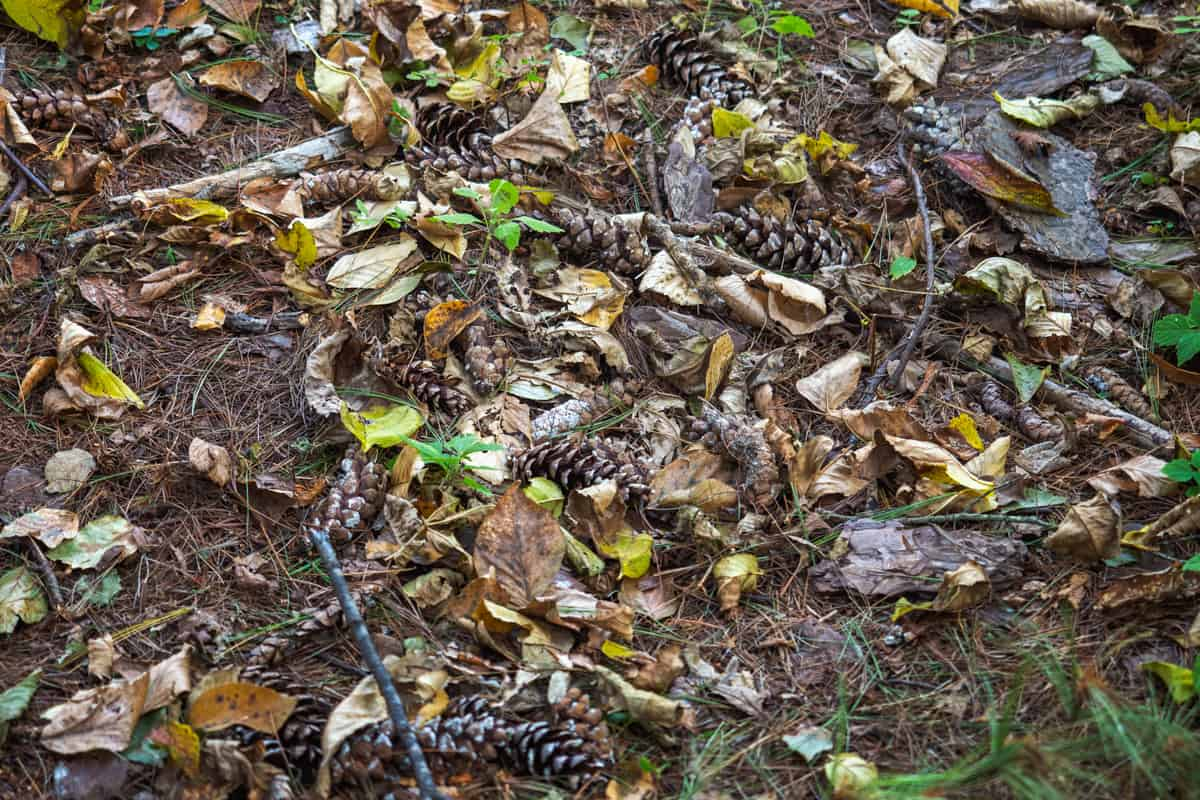 Pine cones dropped on the ground with leaves scattered everywhere