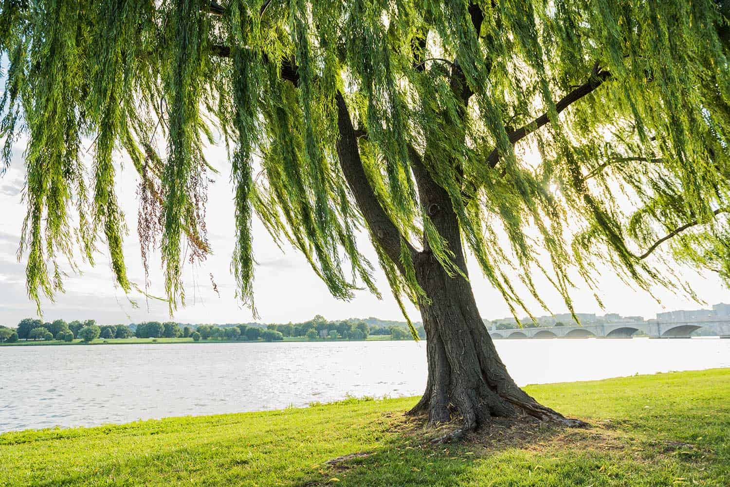 Willow tree swaying in wind by the river