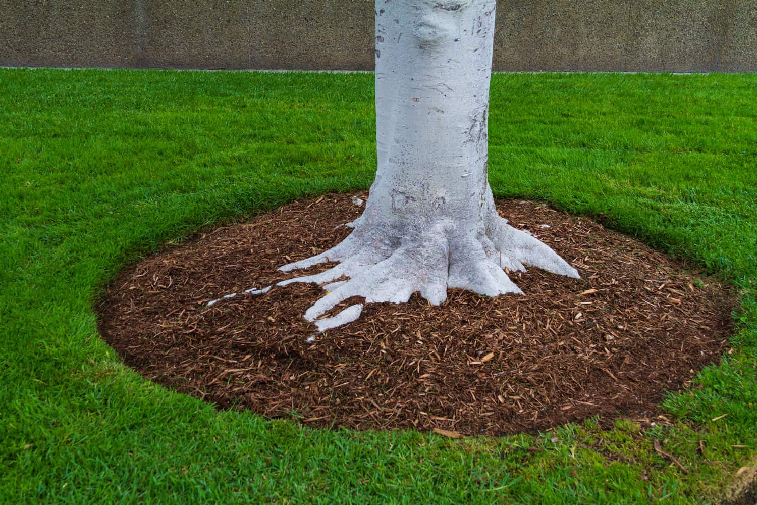 Tree trunk base with mulch and green grass