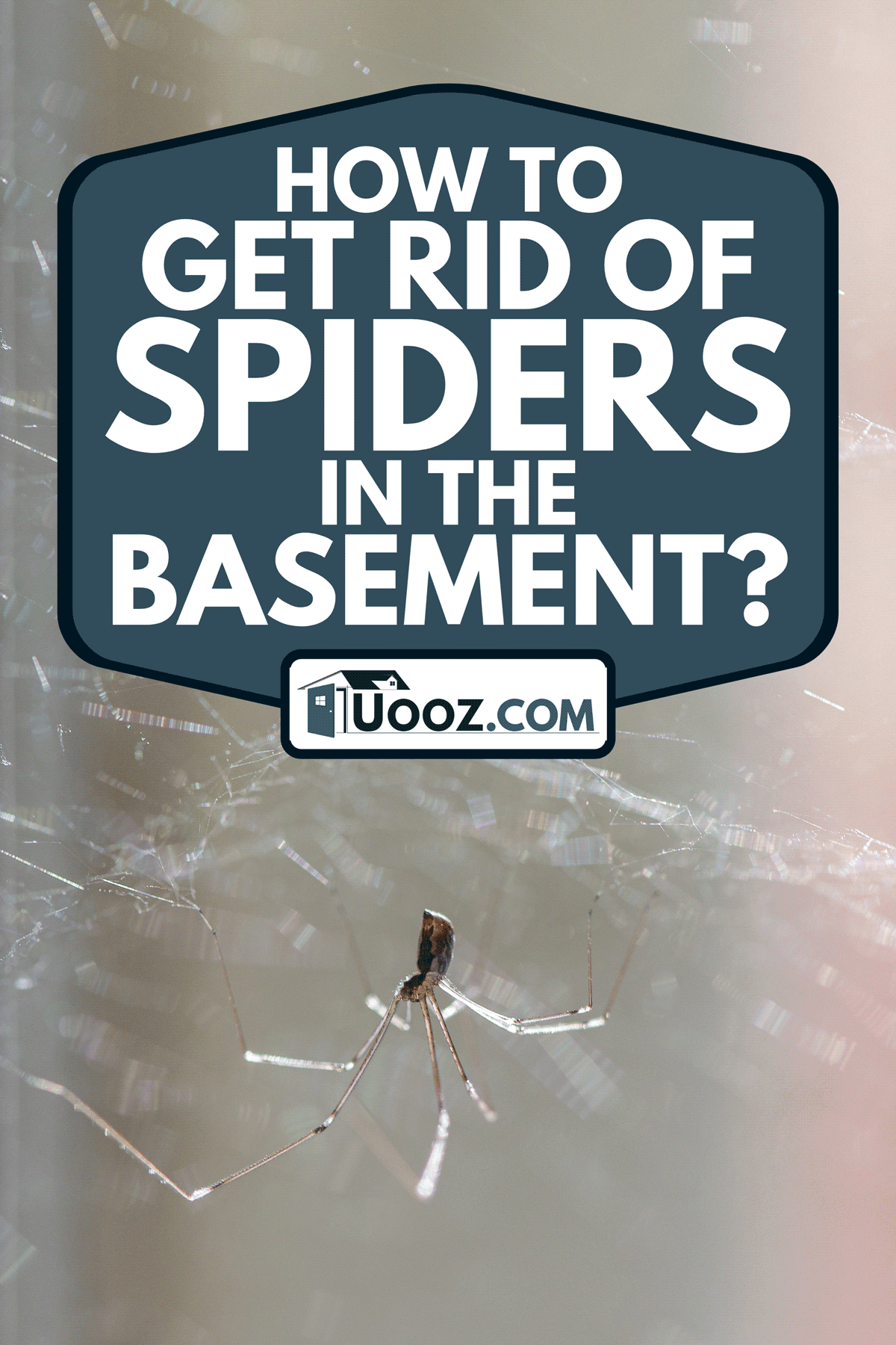 Daddy longlegs home spider with eight thin legs hanging from its cobweb in the corner, How To Get Rid Of Spiders In The Basement?