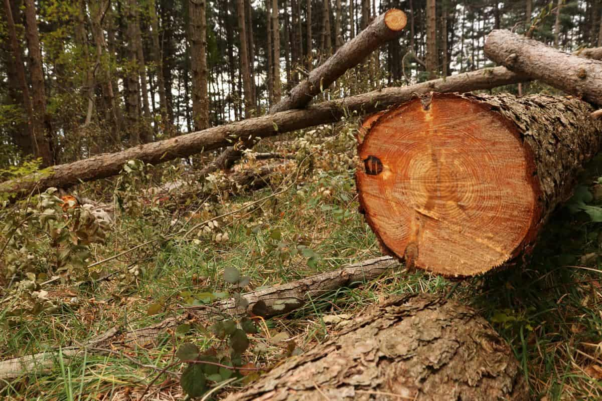 Lumber tree forest falling