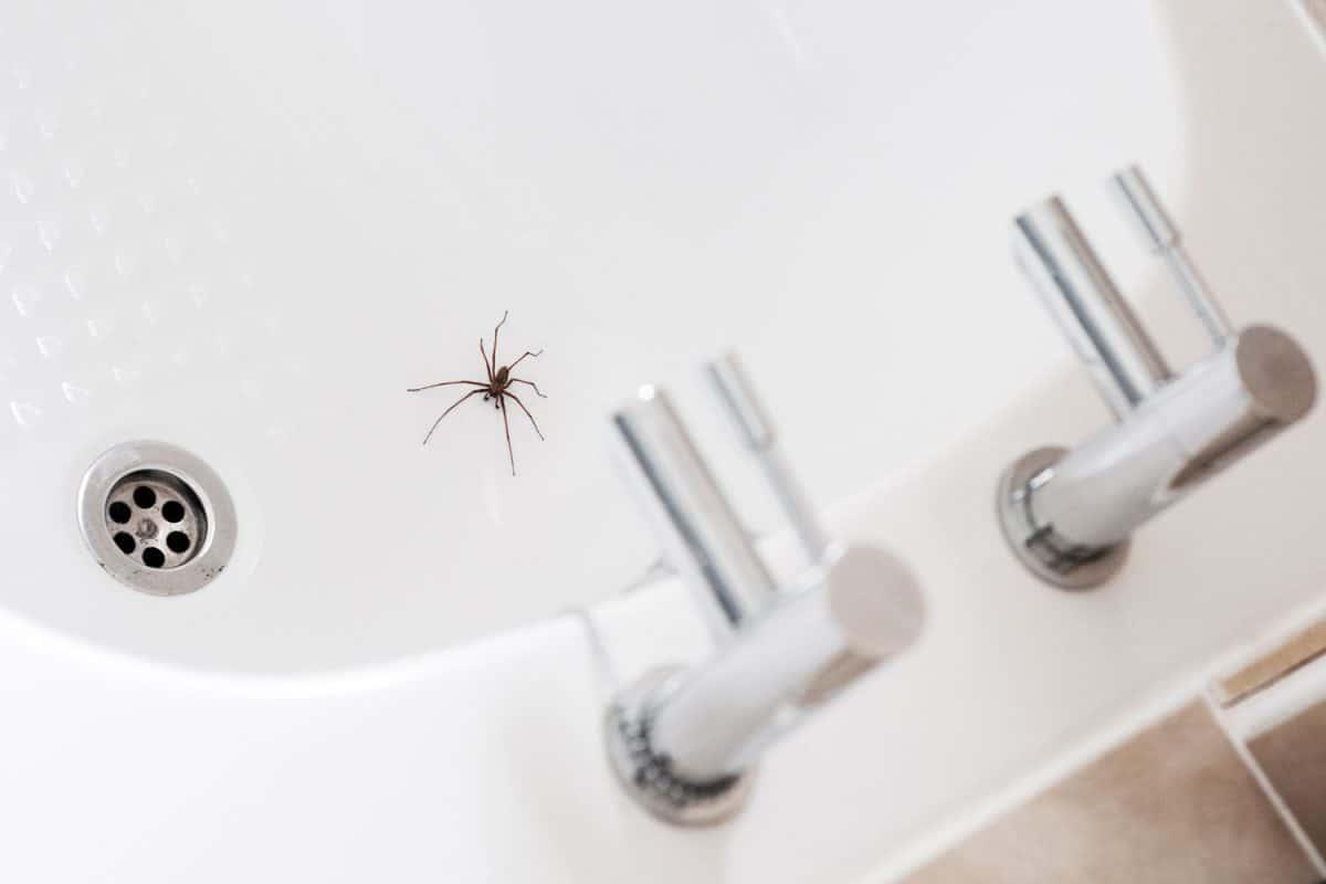 A Giant House Spider Near A Plughole