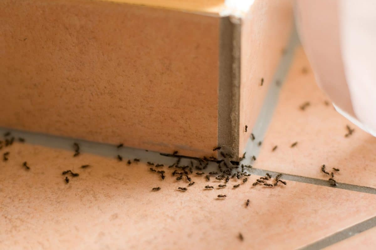 Ants crawling inside of home on the floor, How Long Does It Take For A Bug Bomb To Work?