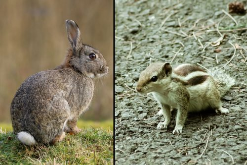 Read more about the article Can Chipmunks And Rabbits Ruin My House Foundation?