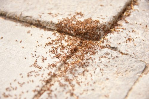 Read more about the article How To Get Rid Of Ants Around House Foundations