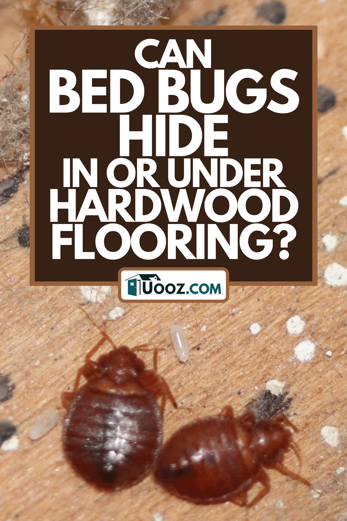 A bed bugs on wood, Can Bed Bugs Hide In Or Under Hardwood Flooring?